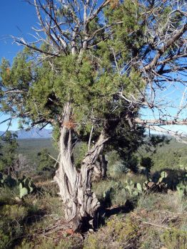 Bent Pine by conniecockrell