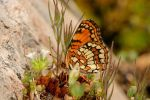 Hoffmann's checkerspot ventral view by segraser