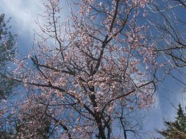 Blooming Apricot Tree by SquirrelWitch