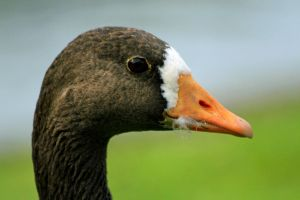 White-fronted Goose by Tinap