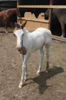 New filly 2 by celtic-stock