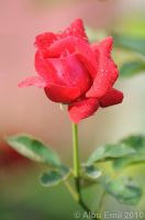 roses are red by albuemil