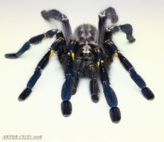 9.Poecilotheria metallica II by Bullter