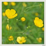 common buttercup by hekla01