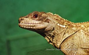 Malayan Sail-Finned Lizard by MorrighanGW