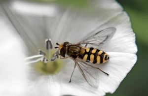 Hoverfly by willos2