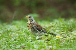 Fieldfare by DominikaAniola