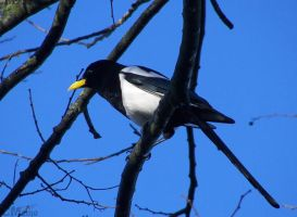 Yellow-billed Magpie by Ciameth
