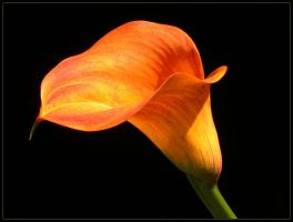 ORANGE CALLA 609 by THOM-B-FOTO