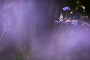 aster amellus by mescamesh
