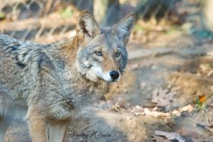 Coyote by ShelbyMelissa