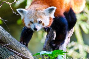 Red Panda V by amrodel