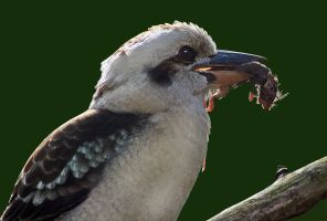 Kookaburra with Mouse by carterr