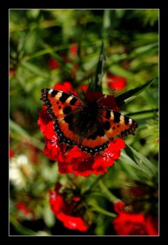 The butterfly by Marthep