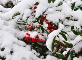 Snow Berries by Tailgun2009