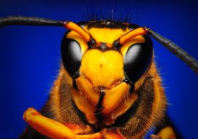Southern Yellow Jacket by Enkased