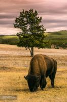 Bison by PhiloGraphic