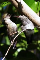 Baby hummingbird with mother (or father :-) by JesseAlveo
