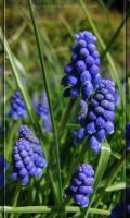 Grape Hyacinth by Asura-Valkyrie