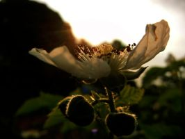 Blackberry Blossom VII by MadeleineAlana