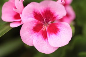 pink geranium by paws720