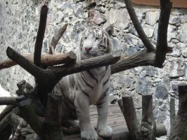 White tiger5 by ICEKING4
