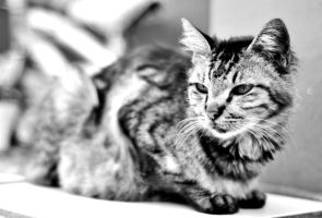 Cat in Black and White by RayChristian