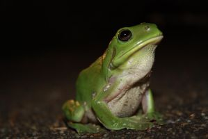 Green Frog 1657 by fa-stock