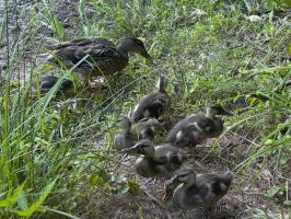 mama and baby ducks 1 by friendlyearthworm