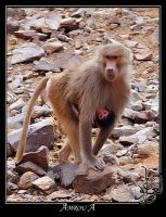 A  monkey from abha by AMROU-A