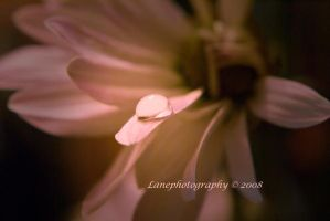 Pink Pearl by lanephotography