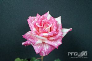 Candy Striped Rose by pfgun0
