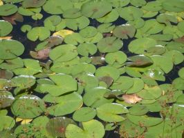 Lily pad stock by Noxtu-Stock