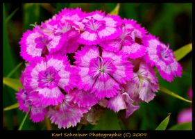 Pink 1 by KSPhotographic
