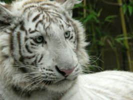 White Tiger by blueygh2
