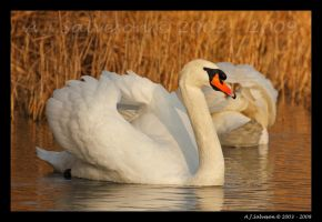 Swan III by andy-j-s