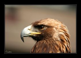 Eagle by cedrus