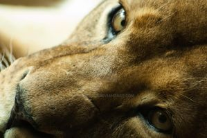 lioness by Perseus67