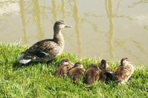 Duck Family by umi-pryde