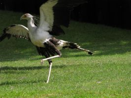 Secretary bird 17 by animalphotos