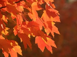 Flaming Leaves of Autumn by bwansy