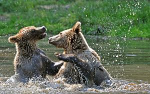 bear fight 2 by Mjag