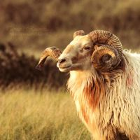 Old ram by TammyPhotography