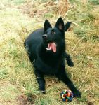 Hera, black german shepherd pup. by Tess-The-Horrible