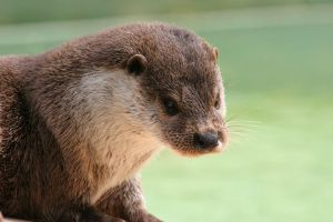 Otter 6_ stock photo by sekhmet-stock