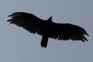 Bird in the sky silhouette 6 by asaph70