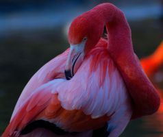 Flamingo by DavidRosario