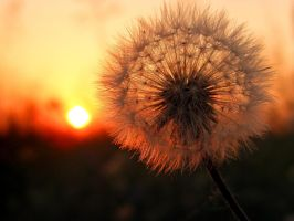 dandelion_sunset by victor23081981
