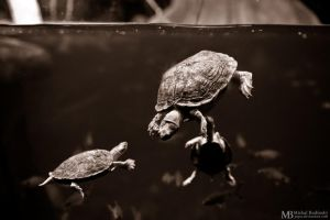 Brown Roofed Turtles by Yupa