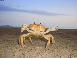 Pointer crab by TavoGDL
